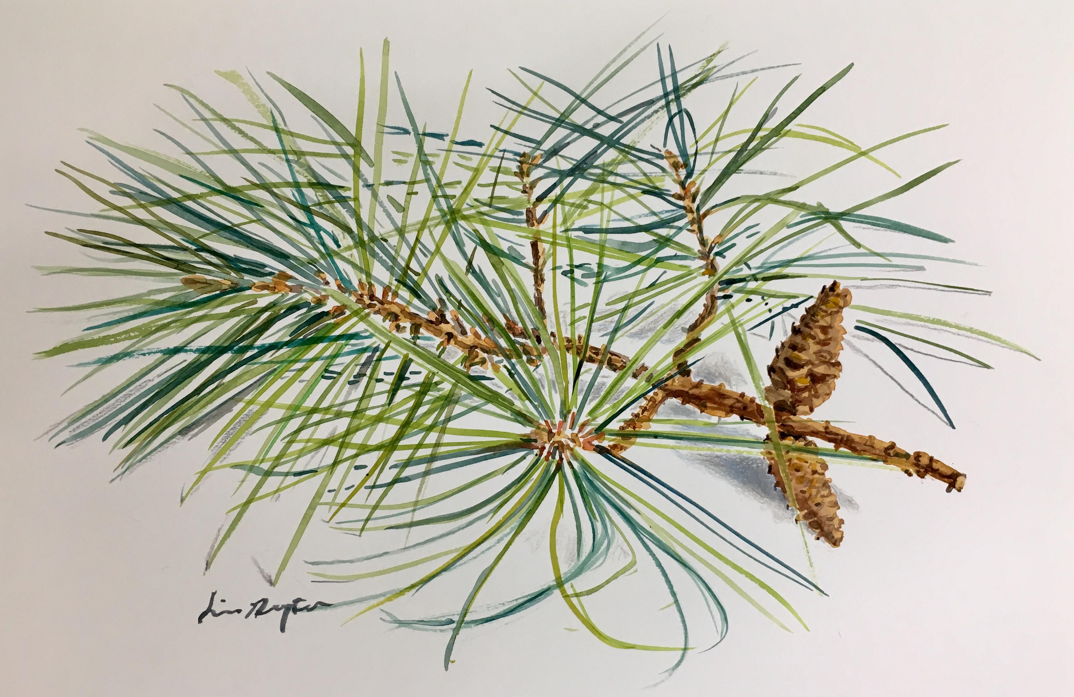 Pine Needles and Cones